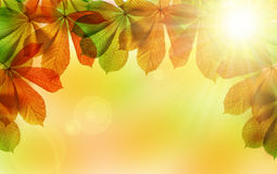 Autumn leaves of chestnut tree Stock Photography