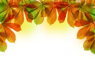 Autumn leaves of chestnut tree Royalty Free Stock Images