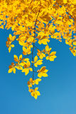 Autumn leaves of the chestnut tree Royalty Free Stock Images