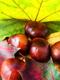 Autumn leaves and chestnuts. Colorful autumn leaves (maple) and chestnuts composition Stock Image