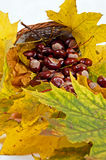 Autumn leaves and chestnuts Stock Image