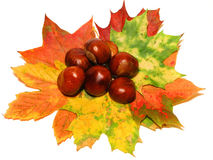Autumn leaves and chestnuts. Isolated Royalty Free Stock Photo