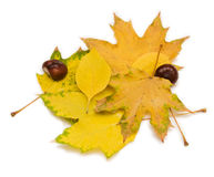 Autumn leaves and chestnuts Royalty Free Stock Photo