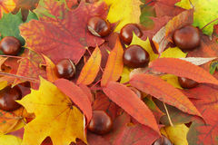 Autumn Leaves and Chestnuts Royalty Free Stock Photography