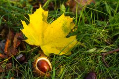 Autumn leaves and chestnuts in green grass. Close up Royalty Free Stock Photo