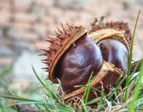 Autumn leaves and chestnuts in green grass, very low ankle view stock photography