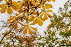 AUTUMN LEAVES CHSTNUT Royalty Free Stock Images