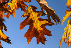 Autumn leaves on clear blue sky Stock Image