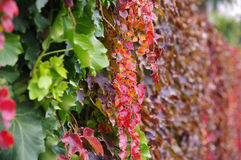Autumn leaves. Climbing plant on the wall Stock Images