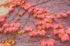 Autumn Leaves Climbing a Wall Stock Photos