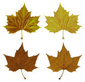 Autumn leaves with clipping path Stock Photography