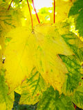 Autumn Leaves. Close full-frame detail on the yellowing autumnal leaves of an English Sycamore tree Stock Photo