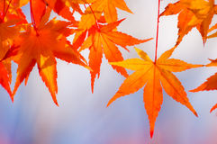 Autumn Leaves Close up. Close up shot of red maple leaves Royalty Free Stock Photos