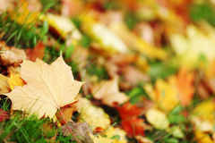 Autumn leaves close up. Autumn leaves in the park Royalty Free Stock Photos