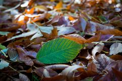 Autumn leaves close-up as background. Pure green leaf on a background of fallen yellow leaves Royalty Free Stock Photo