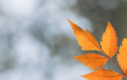 Autumn leaves close-up. On bokeh effect Royalty Free Stock Image