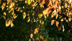 Autumn Leaves Close Up. Leaves on a tree in the new forest stock video footage