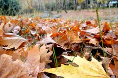 Autumn leaves. Close-up of beautiful autumnal leaves Î¿n the ground of a forest royalty free stock photography