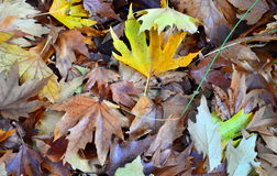 Autumn leaves. Close-up of beautiful autumnal leaves Î¿n the ground of a forest stock image