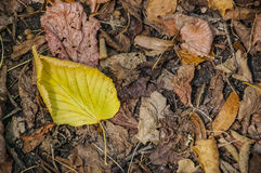 Autumn leaves, close-up royalty free stock images