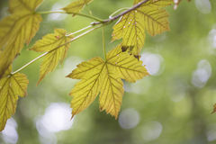 Autumn leaves close up on a green forest Royalty Free Stock Images