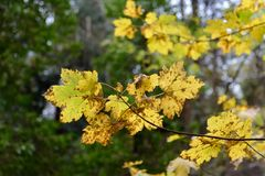 Autumn leaves close-up. Image of autumn leaves close-up Stock Photos