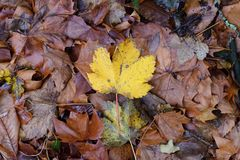 Autumn leaves close-up. Image of autumn leaves close-up Stock Image