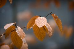 Autumn leaves in close up shot. Autumn leaves in the woodland Royalty Free Stock Photography
