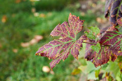 Autumn leaves. A close up with some vine leaves in autumns colors Stock Images