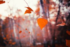 Autumn leaves close up on sun background.  Stock Images