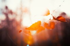 Autumn leaves close up on sun background.  Royalty Free Stock Image