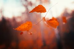 Autumn leaves close up on sun background.  Stock Photo