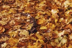 Leaves yellow color autumn nature outdoors day luke close-up. Autumn leaves close-up yellow color beauty nature Stock Photography