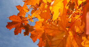 Autumn Leaves. Closeup of Autumn leaves with blue sky behind Stock Image