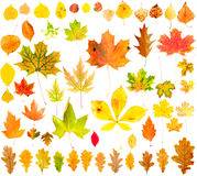 Autumn Leaves Collection. Multi colored fallen autumn leaves isolated on white Royalty Free Stock Photos
