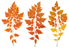 Autumn leaves collection, object set isolated on white Royalty Free Stock Images