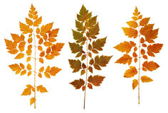 Autumn leaves collection, object set on white Royalty Free Stock Photo