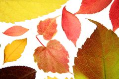 Autumn leaves color still, studio white background Stock Image
