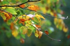 Autumn Leaves color? sur des branches dans la nouvelle for?t images libres de droits