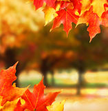 Autumn leaves. Colored Maple leafs. Royalty Free Stock Images