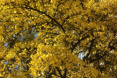 Autumn Leaves. Autumn colored leaves on a tree in Bath, Somerset, England Royalty Free Stock Photos