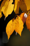 Autumn Leaves. Autumn colored leaves on a tree in Bath, Somerset, England Royalty Free Stock Photography