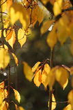 Autumn Leaves. Autumn colored leaves on a tree in Bath, Somerset, England Stock Image