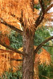 Autumn Leaves. Autumn colored leaves on a tree in Bath, Somerset, England. Taxodium ascendens 'Nutans Stock Photo