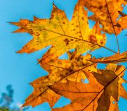 Autumn leaves. Colorful autumn leaves agains blue background Stock Photos