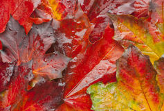 Autumn leaves colorful background water droplets. Colorful and vibrant autumn foliage background. Maple leaves covered with water droplets after rain on the royalty free stock photos
