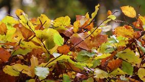 Autumn leaves. Colorful autumn leaves of beech stock footage