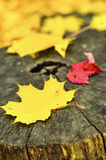Autumn leaves. Colorful leaves in autumn forest on the stump Stock Photo