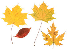 Autumn leaves. Colorful autumn leaves isolated on white background stock images