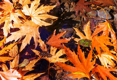 Autumn leaves. Colorful leaves in Autumn season royalty free stock image